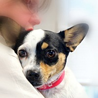 Rat Terrier/Corgi Mix Dog for adoption in Huntsville, Alabama - DeeDee