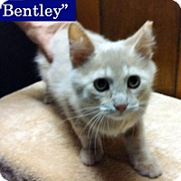 Adopt A Pet :: Bentley - Irwin, PA