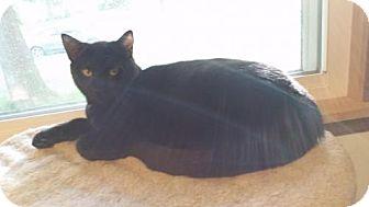 Domestic Shorthair Cat for adoption in Edina, Minnesota - Heathcliff C160228