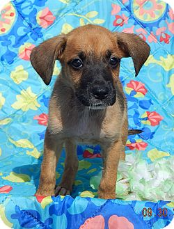 Boxer/Retriever (Unknown Type) Mix Puppy for adoption in West Sand Lake, New York - Tallula (6 lb) Video!