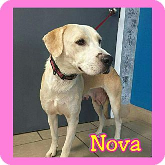 Labrador Retriever Mix Dog for adoption in Mesa, Arizona - Nova