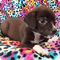 Adopt A Pet :: Corbin - Staten Island, NY