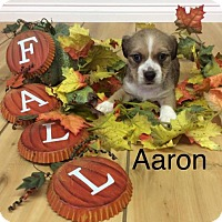 Chihuahua Mix Puppy for adoption in Shreveport, Louisiana - Aaron