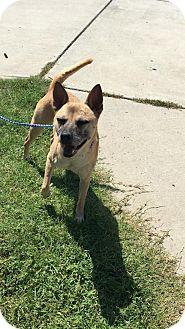 Shiba Inu Mix Dog for adoption in Charlotte, North Carolina - Chance
