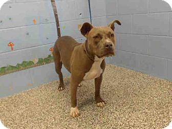 Pit Bull Terrier Dog for adoption in San Bernardino, California - A499323