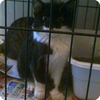 Adopt A Pet :: Manx - Adoption Pending - Alliance, OH