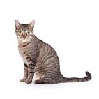 Domestic Shorthair Cat for adoption in Decatur, Georgia - SADE