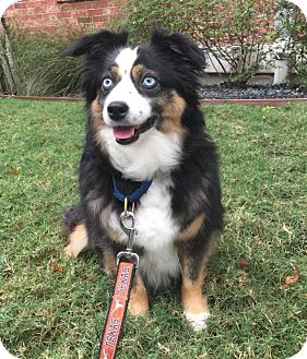 Australian Shepherd Dog for adoption in Austin, Texas - Cali