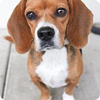 Adopt A Pet :: Murray - Austin, TX