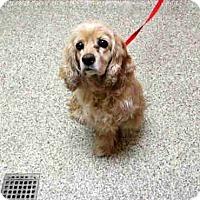 Adopt A Pet :: Bruno 16-138 - Parker, CO