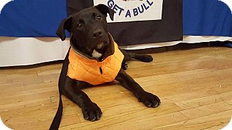 Labrador Retriever/Pit Bull Terrier Mix Puppy for adoption in Huntington, New York - Falcon