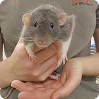Adopt A Pet :: Ratatouille - Titusville, FL