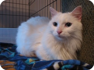 Domestic Longhair Cat for adoption in East Hanover, New Jersey - Arriving Dec. 9th - Snowbell!