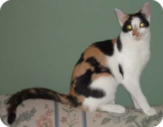 Calico Cat for adoption in Merrifield, Virginia - Sunoco