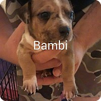 Adopt A Pet :: Bambi - Surprise, AZ