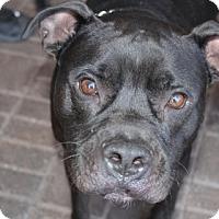 Adopt A Pet :: Kash - Las Vegas, NV