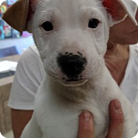 Adopt A Pet :: Hudson - Charlemont, MA