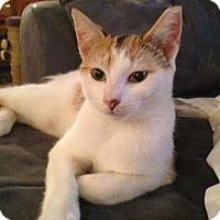 Adopt A Pet :: Patches - Berkeley Hts, NJ