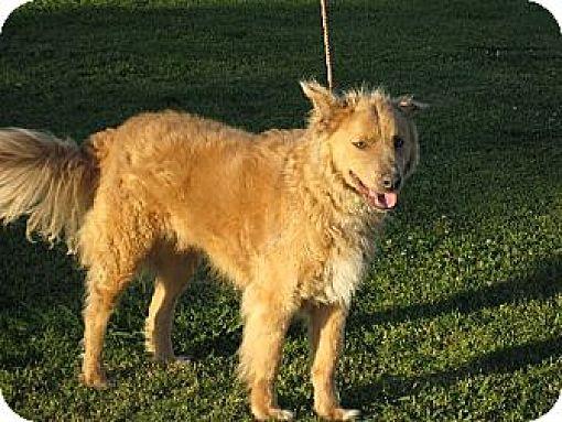 Golden Retriever/Collie Mix Dog for adoption in Greenville, Rhode Island - Jake