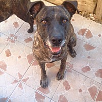 Labrador Retriever Mix Dog for adoption in San Diego, California - Pepe