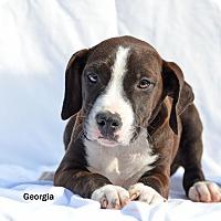 Adopt A Pet :: Georgia - Old Saybrook, CT