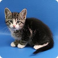 Adopt A Pet :: Scout - Overland Park, KS