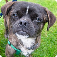 Adopt A Pet :: Chavez - Adoption Pending - Gig Harbor, WA