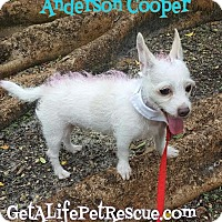 Chihuahua/Westie, West Highland White Terrier Mix Dog for adoption in Wellington, Florida - Anderson Cooper
