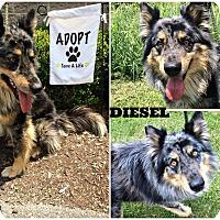 Adopt A Pet :: Diesel - Kimberton, PA