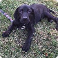 Adopt A Pet :: Violet - New Oxford, PA