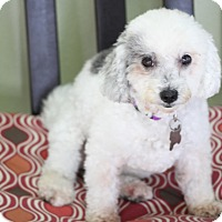 Adopt A Pet :: Molly - great therapy dog - Woonsocket, RI