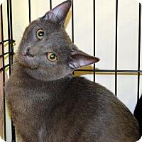 Russian Blue Cat for adoption in Richmond, Virginia - Shadow