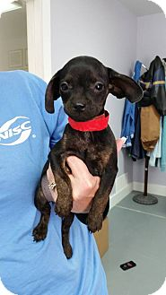 Terrier (Unknown Type, Small) Mix Puppy for adoption in Hawk Point, Missouri - Jan