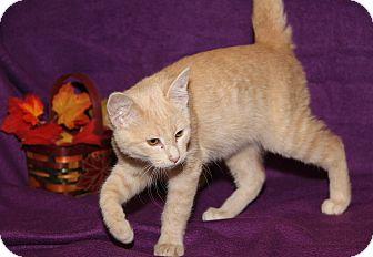 Domestic Shorthair Cat for adoption in Marietta, Ohio - Milo (Neutered)