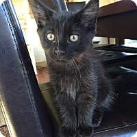 Domestic Mediumhair Kitten for adoption in Waldorf, Maryland - Dexter