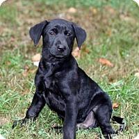 Adopt A Pet :: PUPPY WILSON - Salem, NH