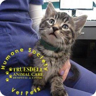 Domestic Shorthair Kitten for adoption in Janesville, Wisconsin - Aspen