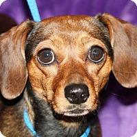 Adopt A Pet :: Annie - Nanuet, NY