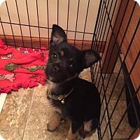 Adopt A Pet :: Ginny - Maple Grove, MN