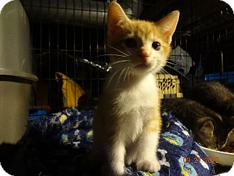 Domestic Shorthair Kitten for adoption in Saint Albans, West Virginia - Toby