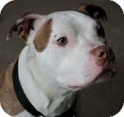 American Pit Bull Terrier Mix Dog for adoption in Staatsburg, New York - Tofu