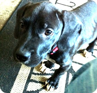 Labrador Retriever Mix Puppy for adoption in Miami, Florida - Brock