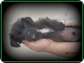 Terrier (Unknown Type, Small)/Dachshund Mix Puppy for adoption in Indian Trail, North Carolina - Licorice