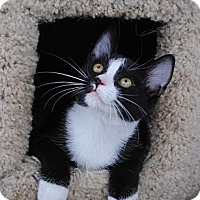 Adopt A Pet :: Sylvester - Palmdale, CA