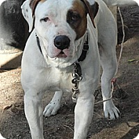 American Bulldog/Pit Bull Terrier Mix Dog for adoption in Santa Ana, California - Roscoe (JR)