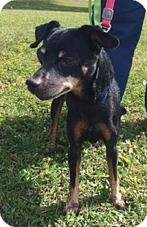 Miniature Pinscher Dog for adoption in Katy, Texas - FIFE