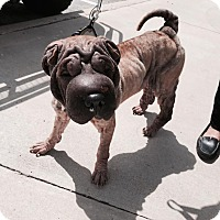 Adopt A Pet :: Chasity in TX - pending - Mira Loma, CA