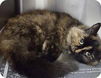 Domestic Longhair Cat for adoption in New Bedford, Massachusetts - Sparkles