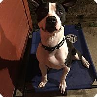 Adopt A Pet :: Chavez - Lake Charles, LA