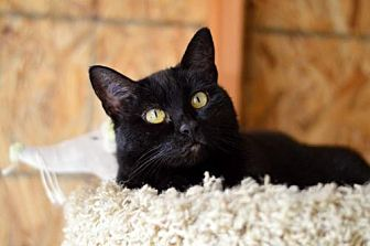 American Shorthair Cat for adoption in Santa Monica, California - Luna